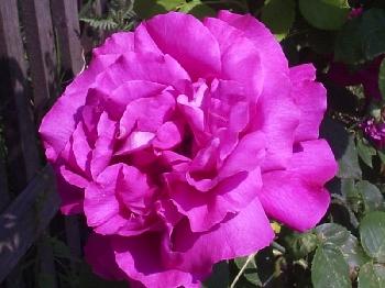 Diese Rosenblüte wurde im Garten der Familie Kretschmer photographiert. Es handelt sich um eine sehr volle Blüte, welche mit leuchtendem Rosa das Auge des Betrachters zu erfreuen vermag.