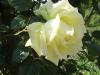 Cremefarben, edel und mit einem kräftigen Duft präsentiert sich diese Rose im Lichte der Mittagssonne. Aufgenommen im Rosengarten der Familie Kretschmer.