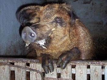 Eberhardt - der Wollschwein-Eber auf dem Kinderbauernhof Anke Vogel schaut neugierig über sein Gatter. Vielleicht gibt es ja etwas zu fressen?