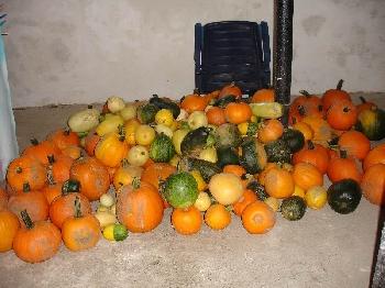 All diese Kürbisse werden beim traditionellen Kürbisschnitzen zum Auterwitzer Ökoschwof im September bearbeitet und verziert.