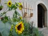 Das leuchtende Gelb dieser wunderschönen Sonnenblumen empfängt unsere Besucher am Eingang des Mattheshofes.